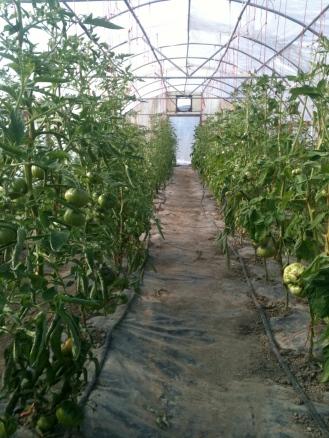 Tomato green house