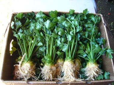 Celerac root