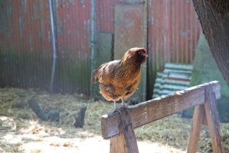 Moose the araucana chicken