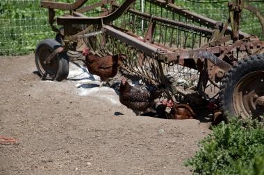 Chicken dusting meets farm art
