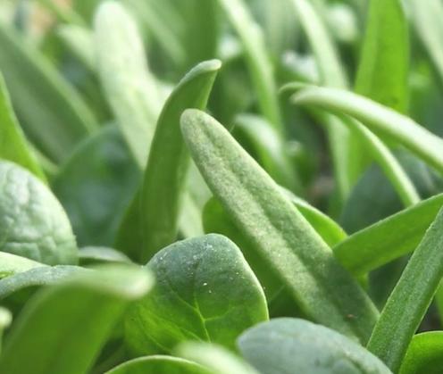 Spinach still